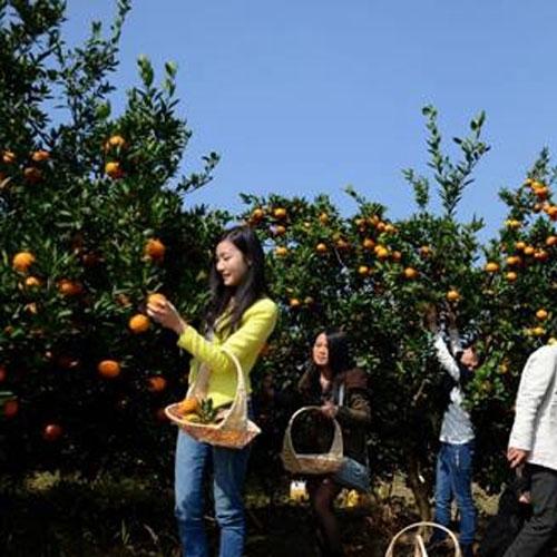 橘子采摘活动